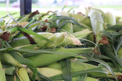 Picture of Yellow Sweet Corn